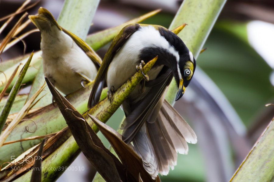 Juvenile Blue faced honey eater in a palm tree - Brisbane - Australia  The bare facial skin of Blue faced honey eaters (Entomyzon cyanotis) that have just fledged is yellow, sometimes with a small patch of blue in front of the eyes, while the skin of birds six months and older has usually become more greenish, and turn darker blue beneath the eye, before assuming the adult blue facial patch by around 16 months of age.