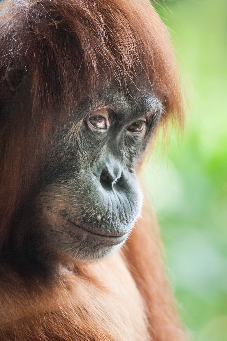 Photograph Orangutan by Justin Lo on 500px