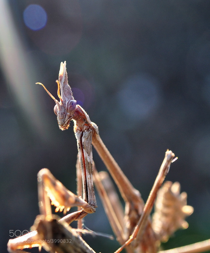 Photograph Mantis by yilmaz uslu on 500px