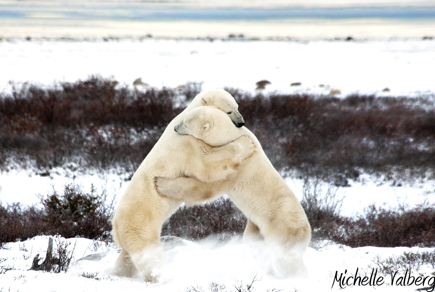 Photograph Sparring Bears by Michelle Valberg on 500px