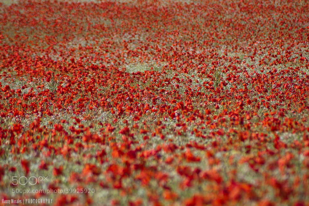 Photograph Poppy field by Hannelore  on 500px