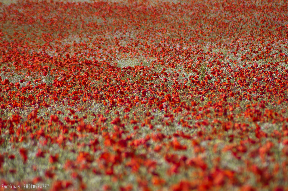 Photograph Poppy field by h_foxh  on 500px