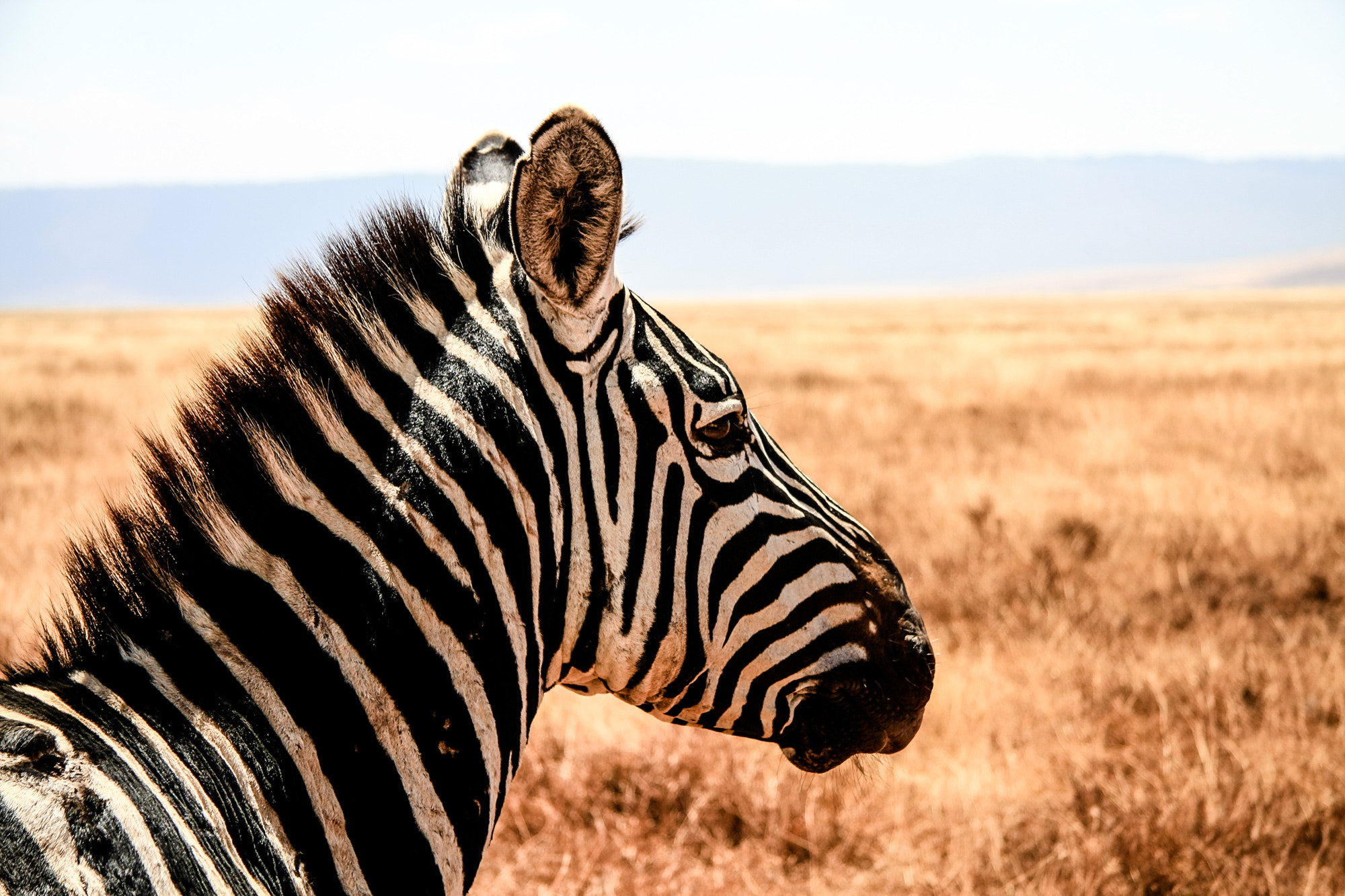 Photograph Tansania Zebra by Stefan Traxinger on 500px