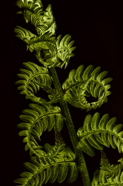 Photograph Unfurled Fern by Mike Moats on 500px