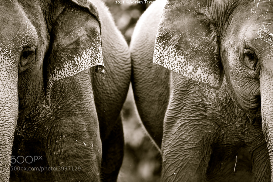 Two asian elephants, as graceful and beautiful as they are yet so  highly endangered.