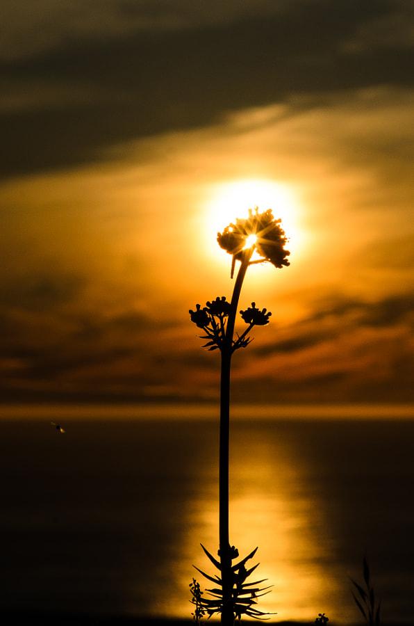 Flower in midnightsun