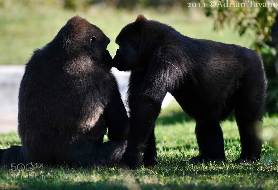 Two lowland gorillas showing affection in the shade.