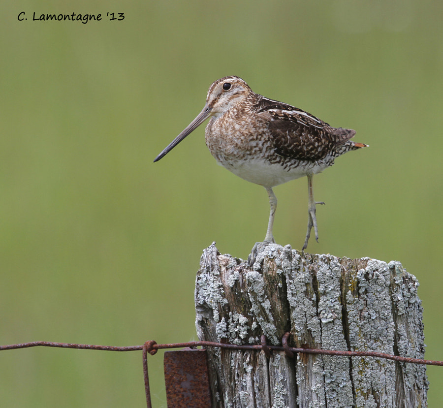 I visited my friend Barb D'Arpino last week and she and her husband took me out to the Alvar to look for birds. I was happy to see this Wilson's Snipe posing on the fence post. It was only the second time I had seen this bird.