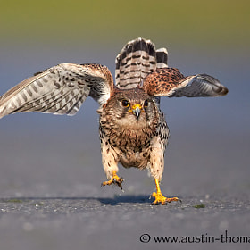 A Kestrel doing its own little dance.