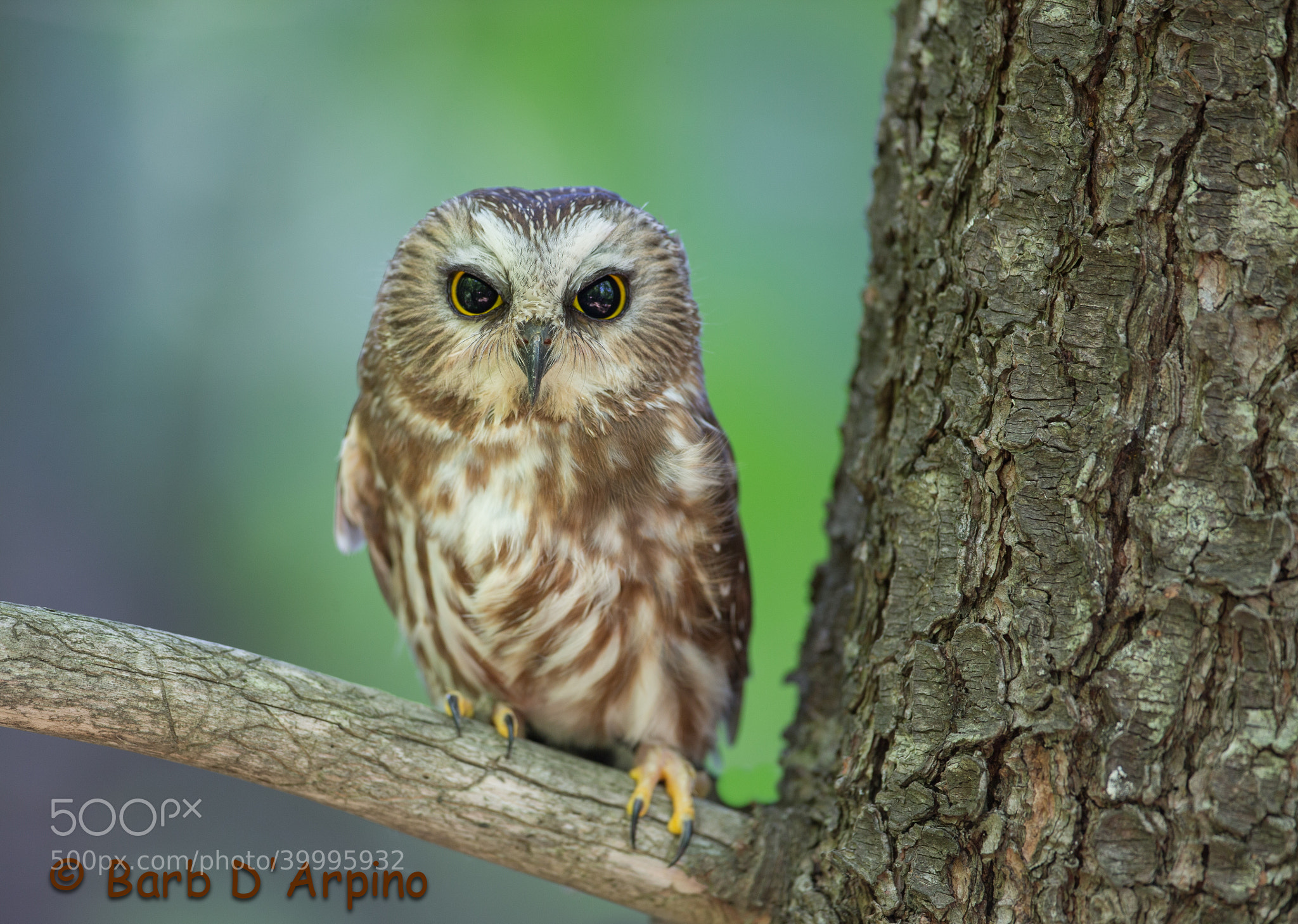 Photograph Northern Saw Whet Owl by Barb D'Arpino on 500px