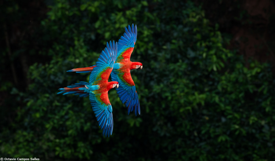 Photograph Red-and-green Macaws by Octavio Campos Salles on 500px