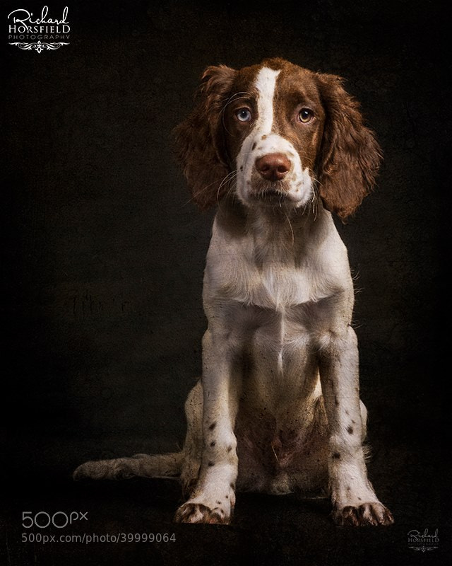 Photograph The Springer Spaniel by Richard Horsfield on 500px