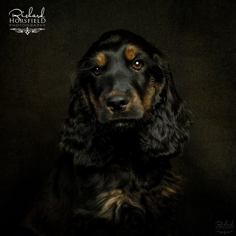 Photograph The Cocker Spaniel by Richard Horsfield on 500px