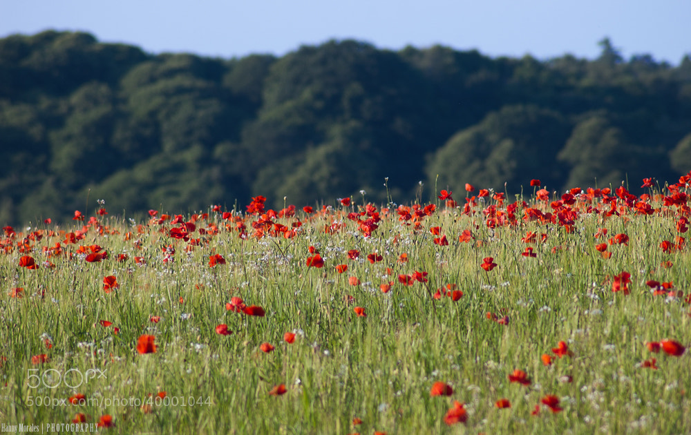 Photograph Red poppies on a field by Hannelore  on 500px
