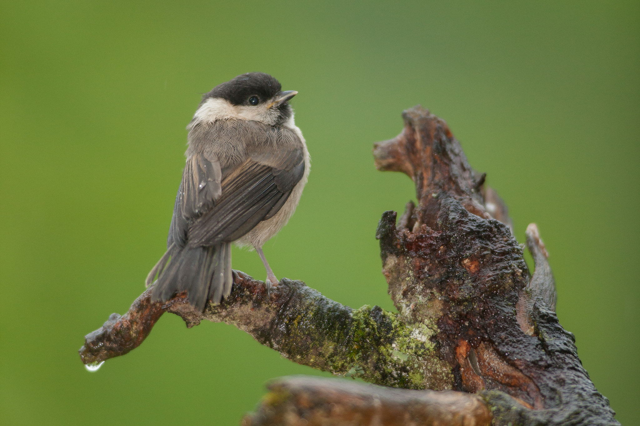 Photograph Sad March Tit by Tobias Kuhl on 500px
