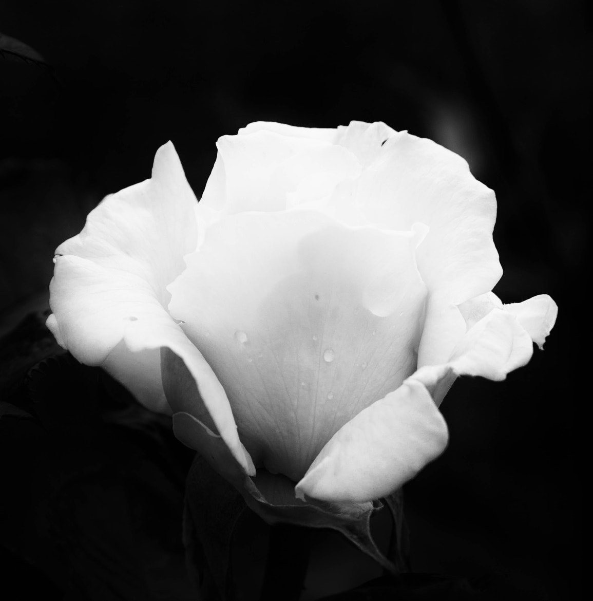Photograph same white rose by Johan Vanreybrouck on 500px