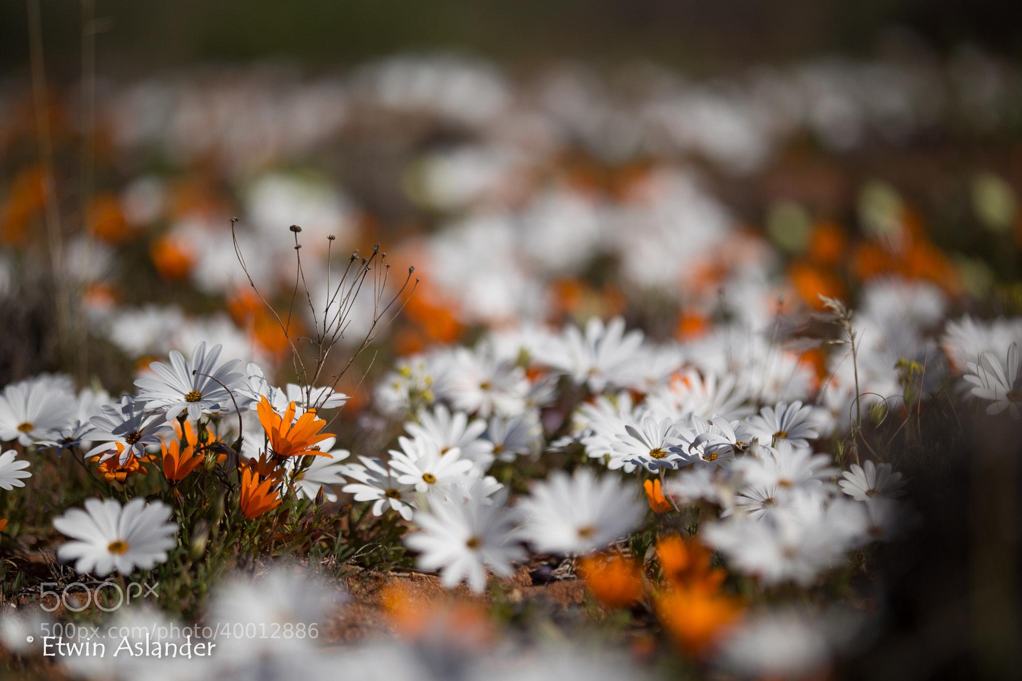 Photograph Daisy's by Etwin  Aslander on 500px