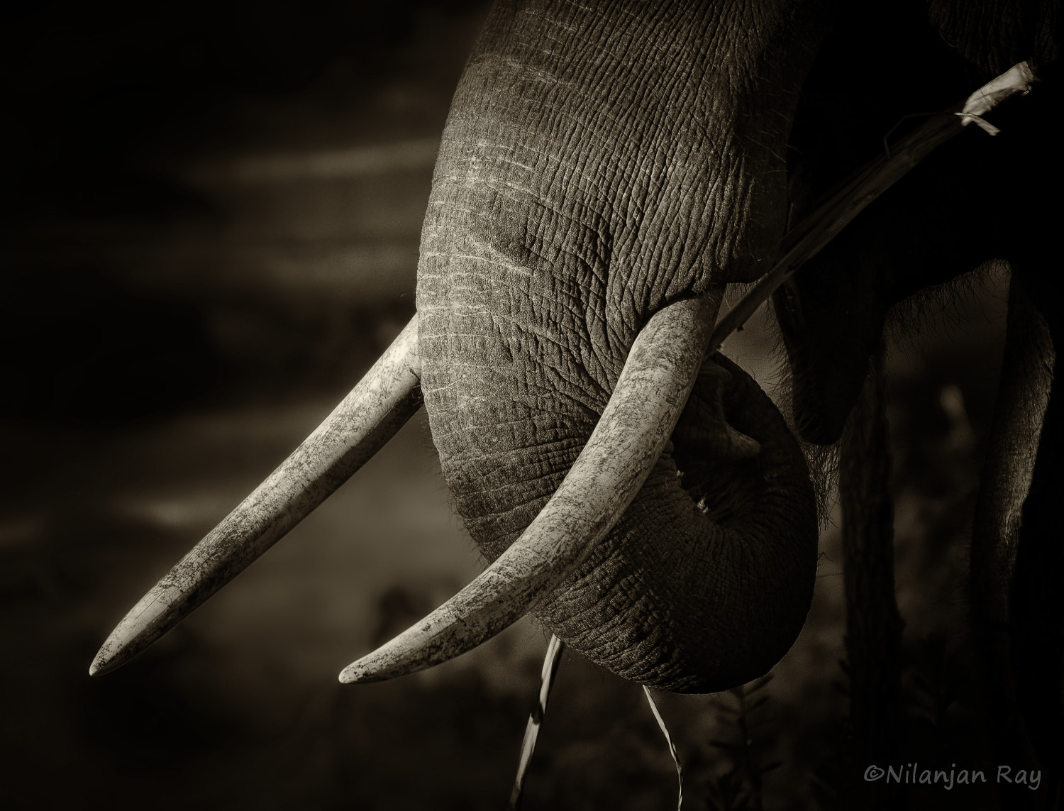 Photograph Wild tusker eating bamboo by Nilanjan Ray on 500px