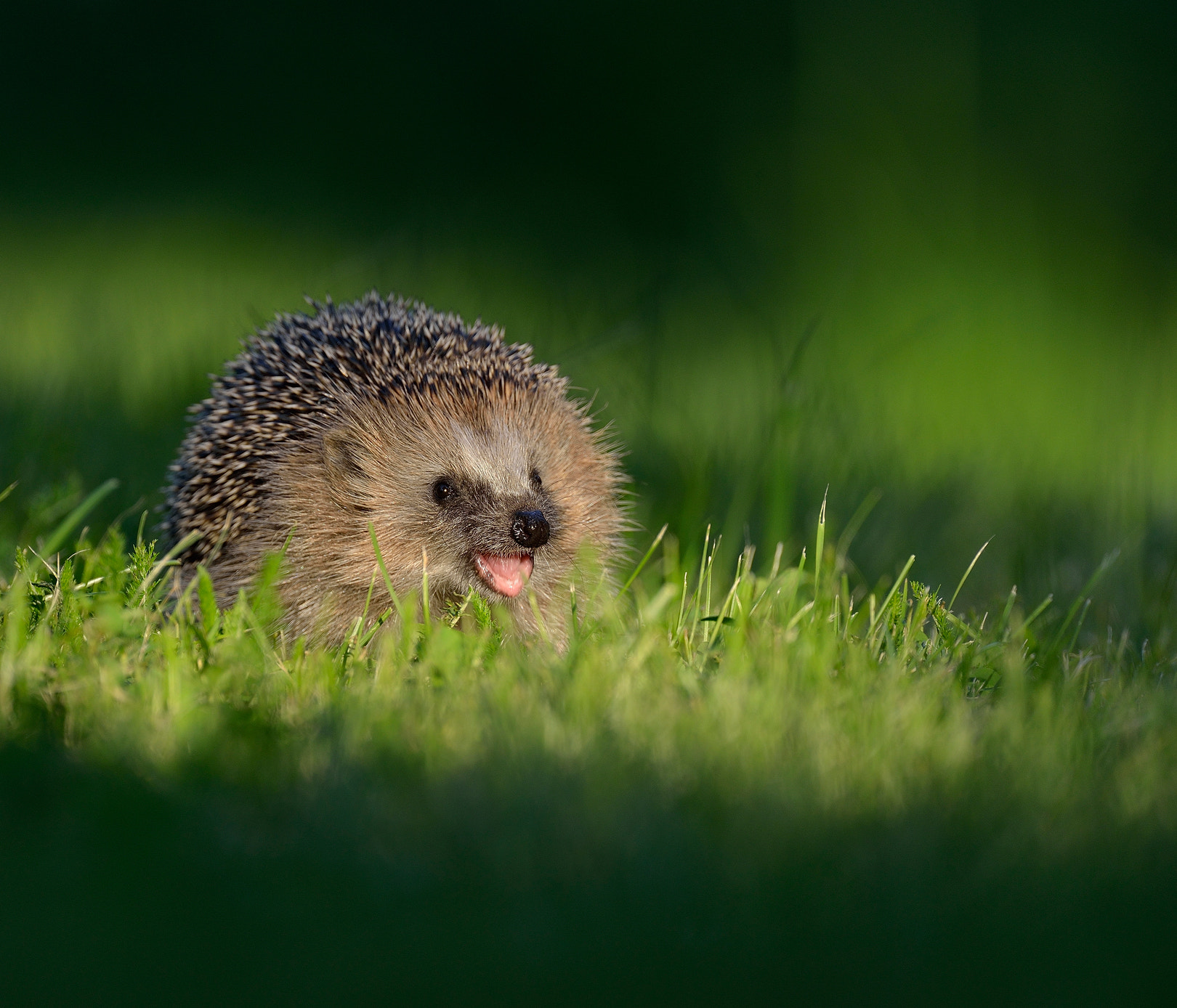 Photograph Hedgehog by Ronnie Bergström on 500px