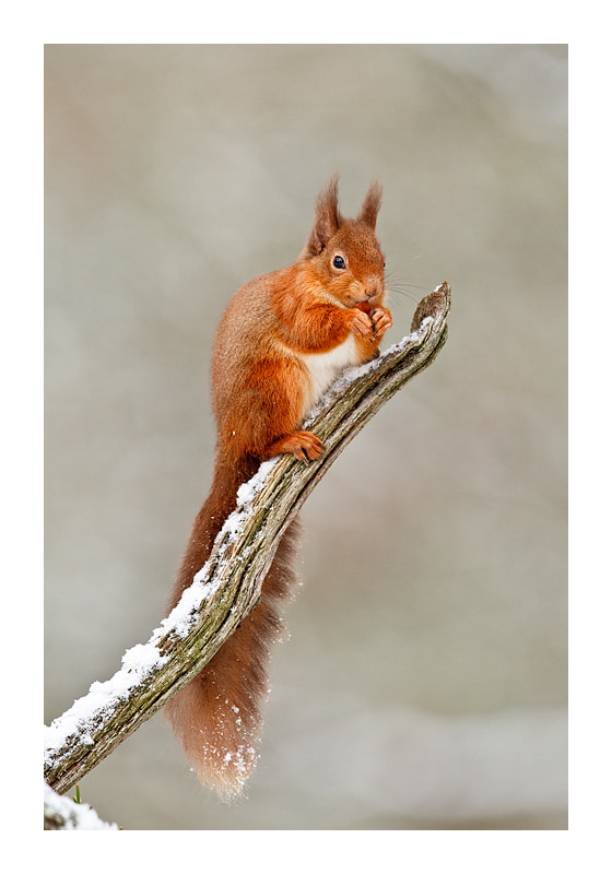 Photograph Bright eyed, bushy tailed by Jules Cox on 500px