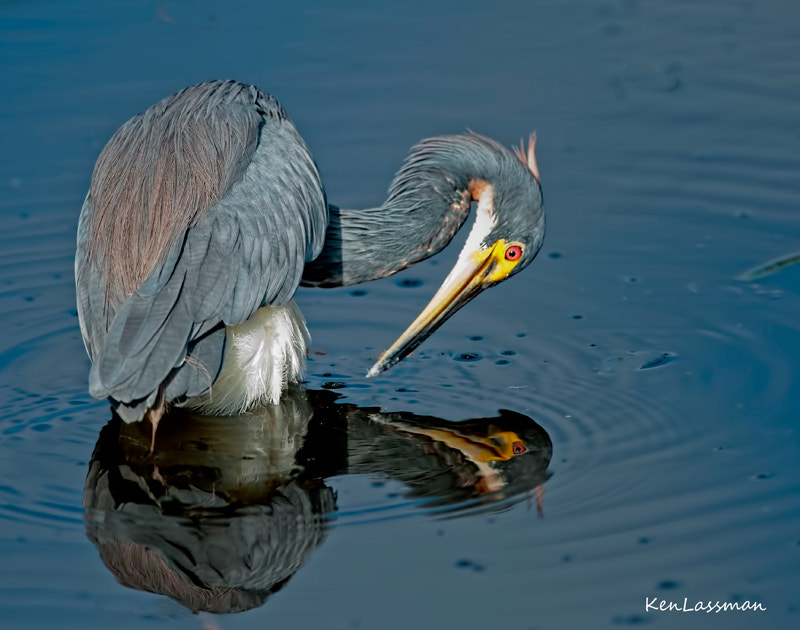 Tri-color Heron appeared mesmerized by his own reflection