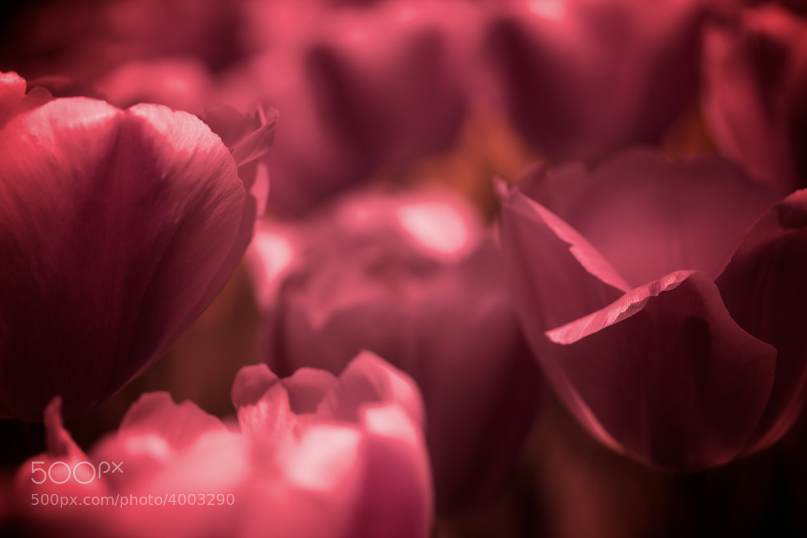 Photograph Pink by Joe Sterne on 500px
