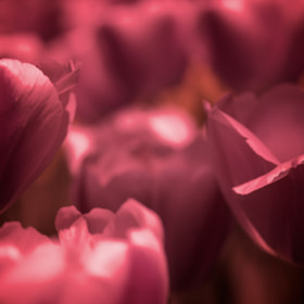 Close up Color Monochrome shot of  tulips