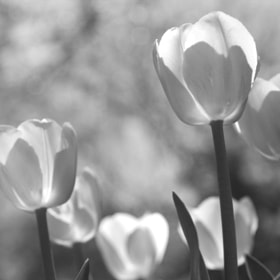B&W Tulips together