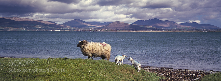 SHEEP WITH LAMBS ENTRANCE TO CARLINGFORD LOUGH. MOURNE MOUNTAINS NORTHERN IRELAND