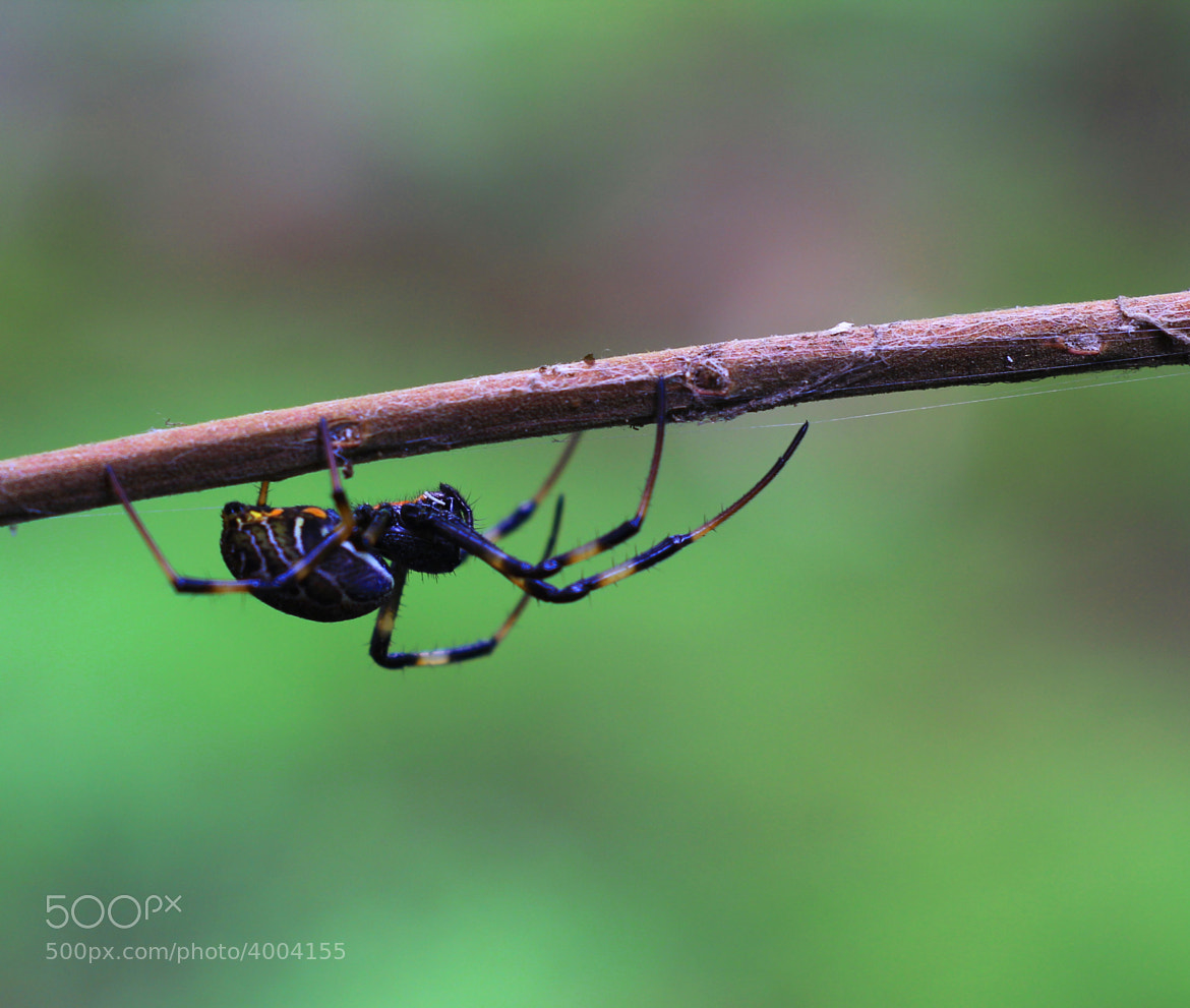 Photograph Macro Spider by chan ationg on 500px