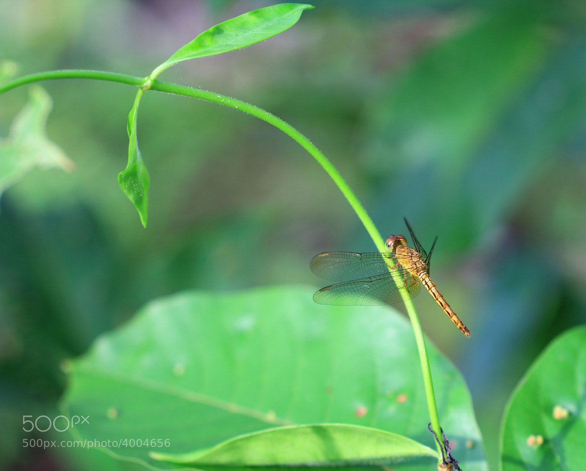 Photograph Macro Drogonfly by chan ationg on 500px
