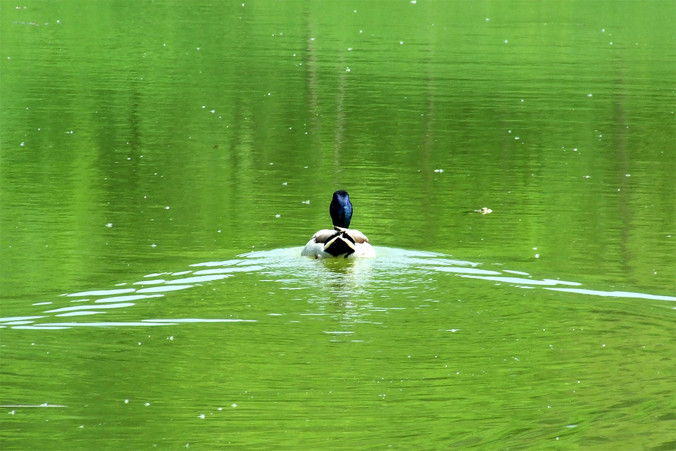 Photograph Duck by Ionut Arn on 500px