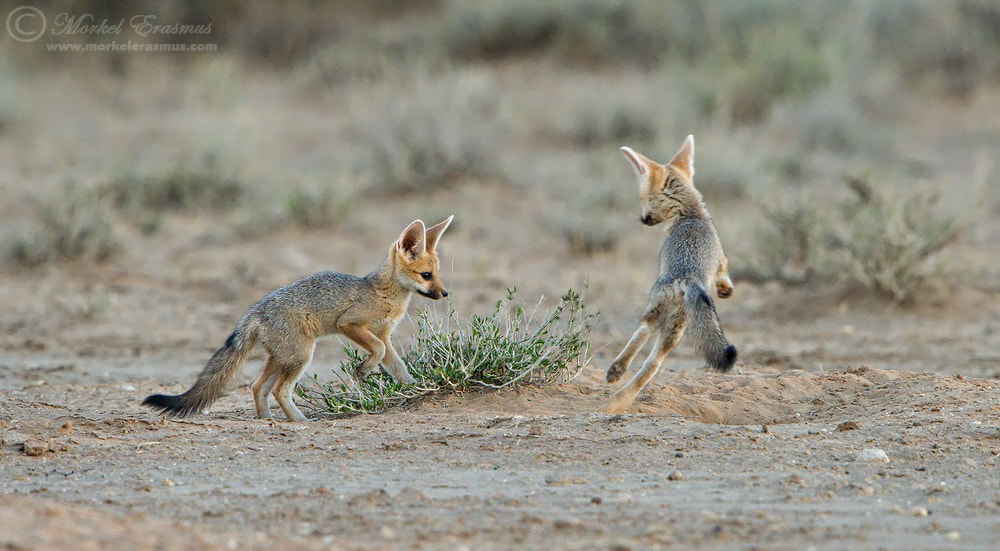 Photograph Foxy Playtime by Morkel Erasmus on 500px