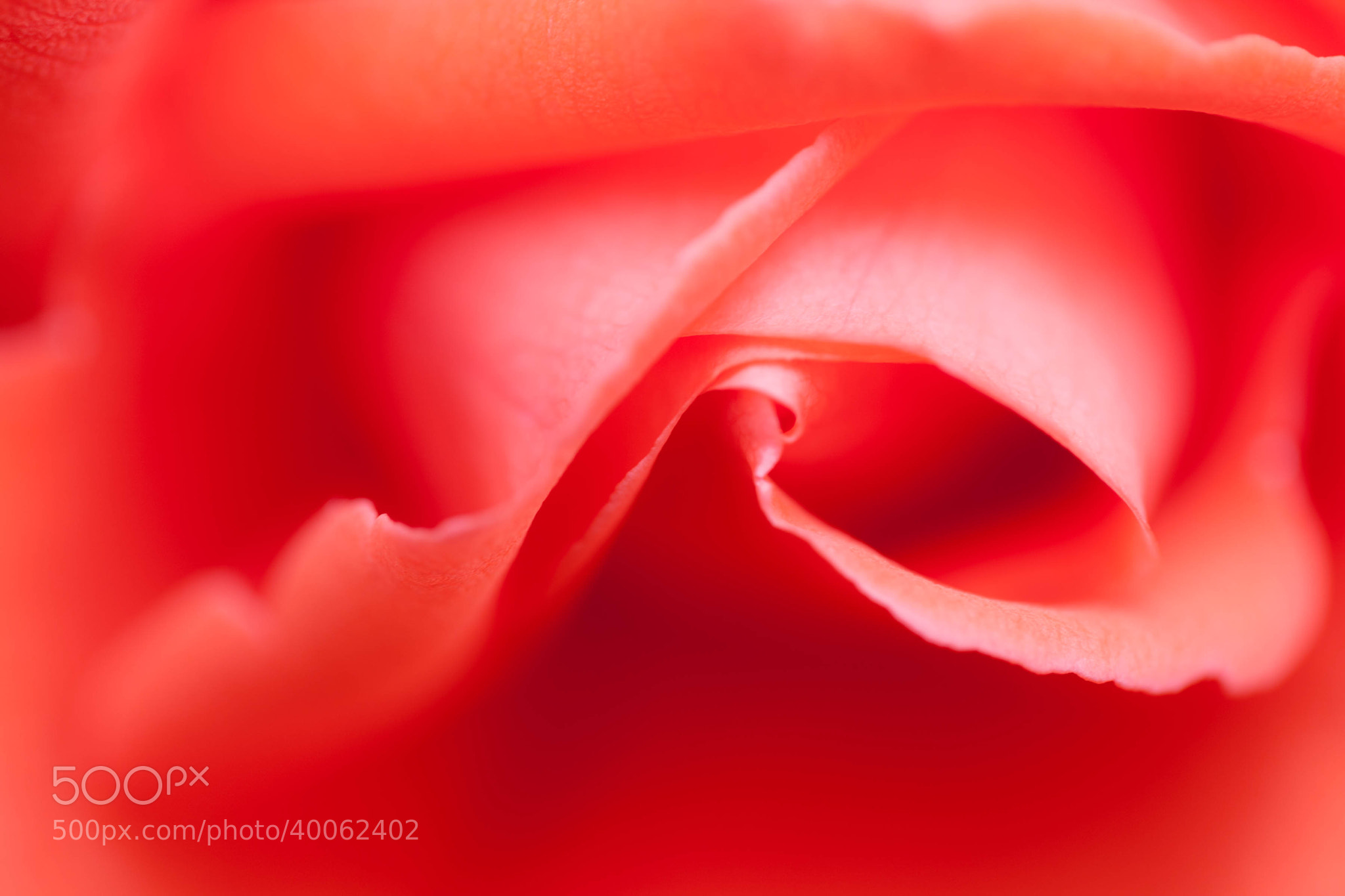 Photograph Macro Rose by Carl Mickleburgh on 500px