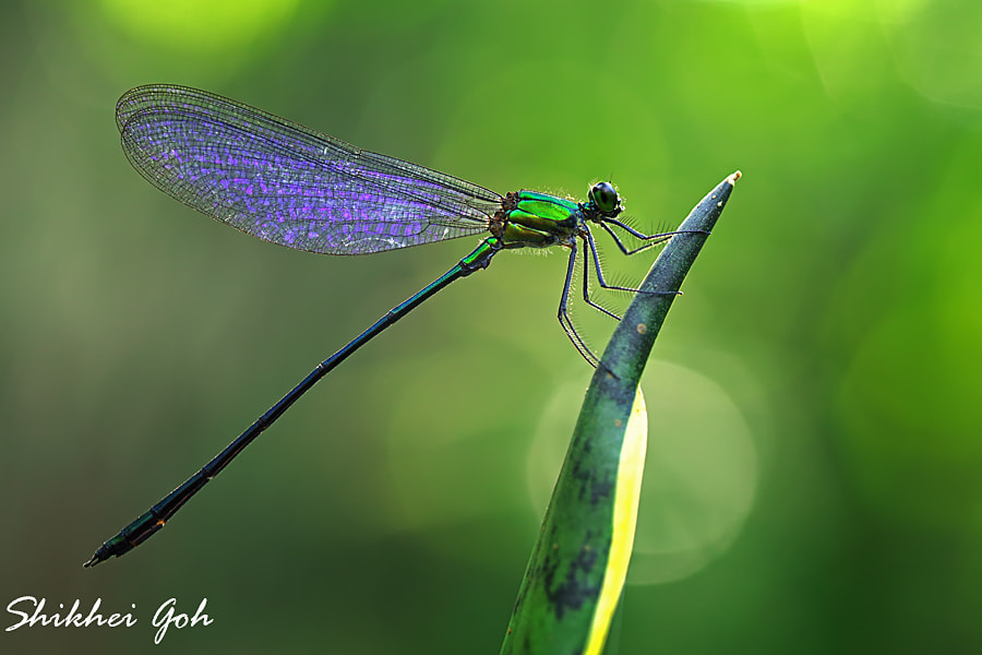 Photograph Damselfly by shikhei goh on 500px