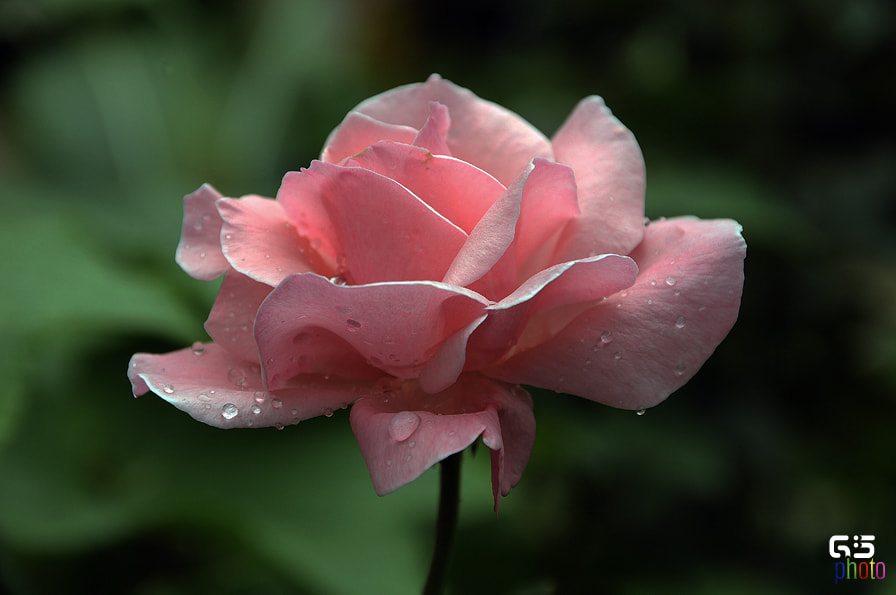 Photograph Rose + Water = ROSEWATER by Nepal I Love on 500px