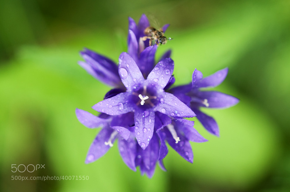 Photograph Campanula glomerata by Tanel Voormansik on 500px