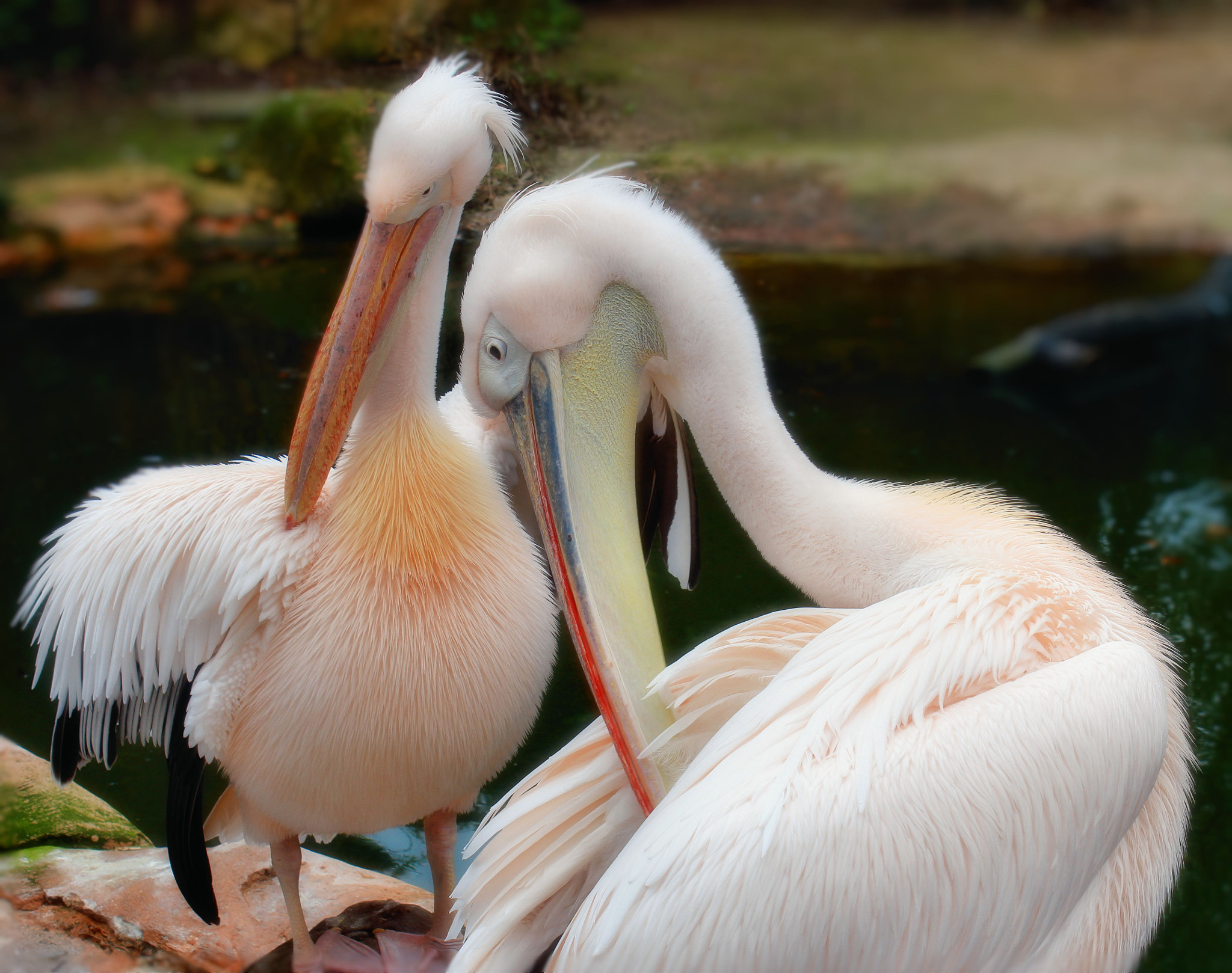 Photograph Pink Pelicans by Eva Shaffer on 500px