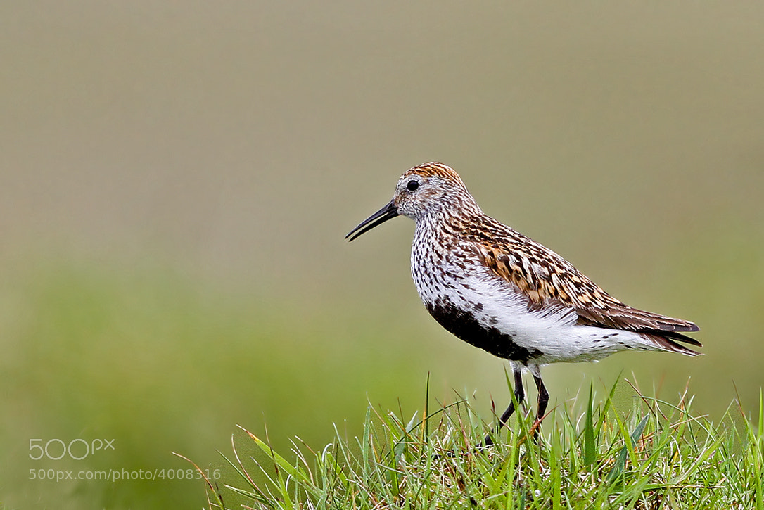 Photograph Calidris alpina by Svend Erik Nørgaard on 500px