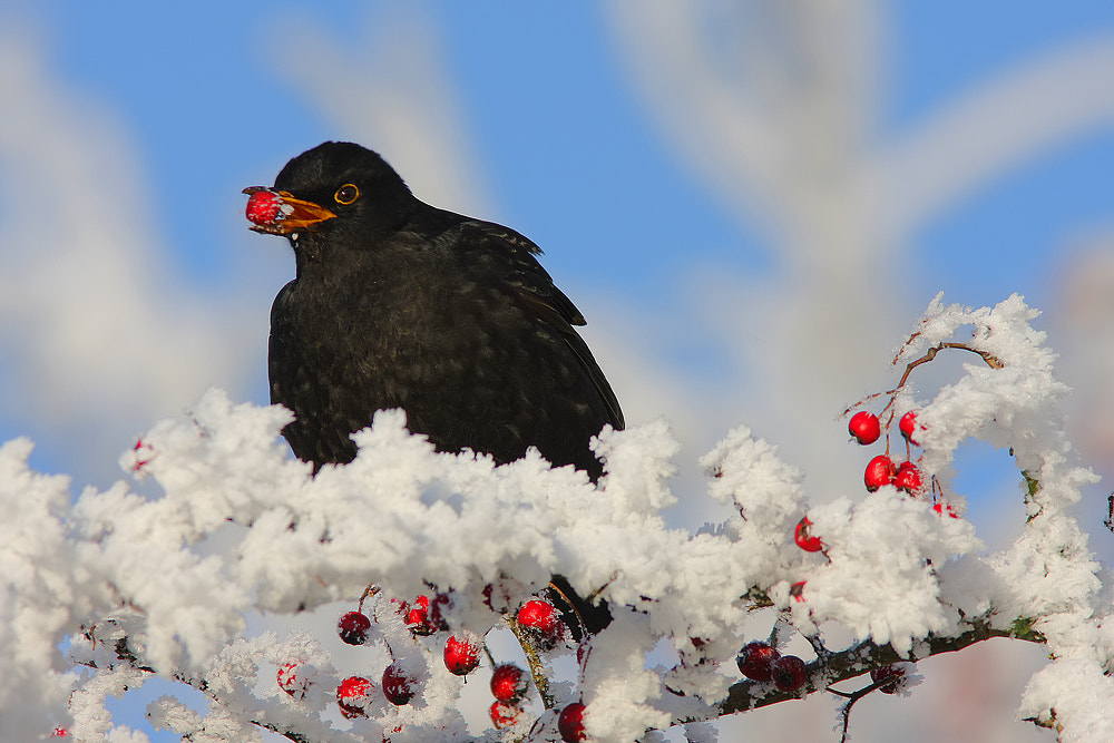 Photograph Blackbird by Tom  Kruissink on 500px