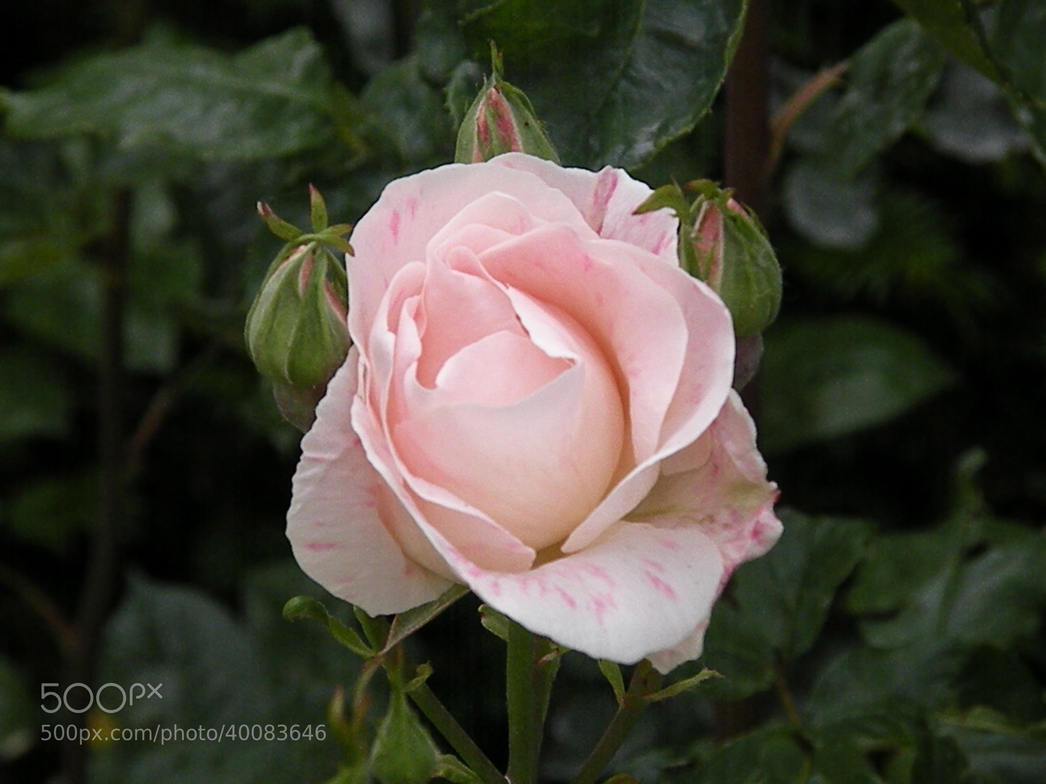 Photograph Rosa rosa by Jose Maria Vidal Sanz on 500px
