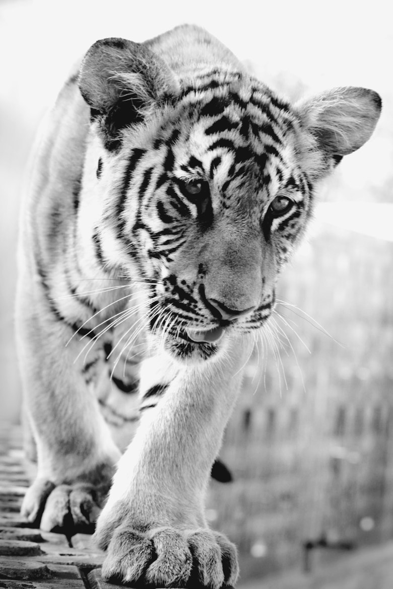 Photograph Tiger cub by Maria Arenas on 500px