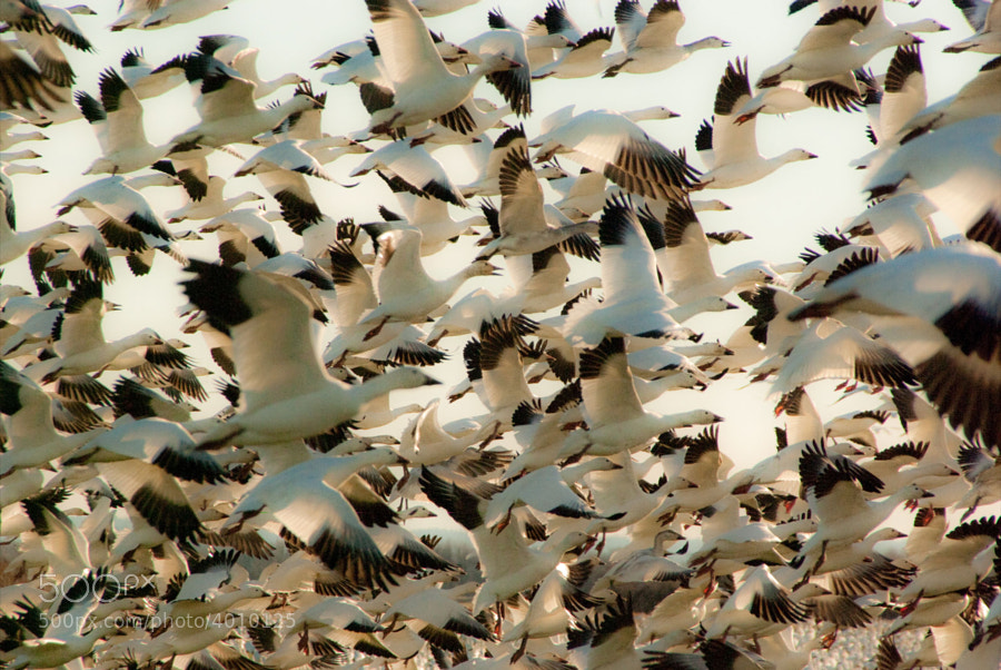 The annual Snow Geese Migration through Washington is almost more impressive to listen to than to see.