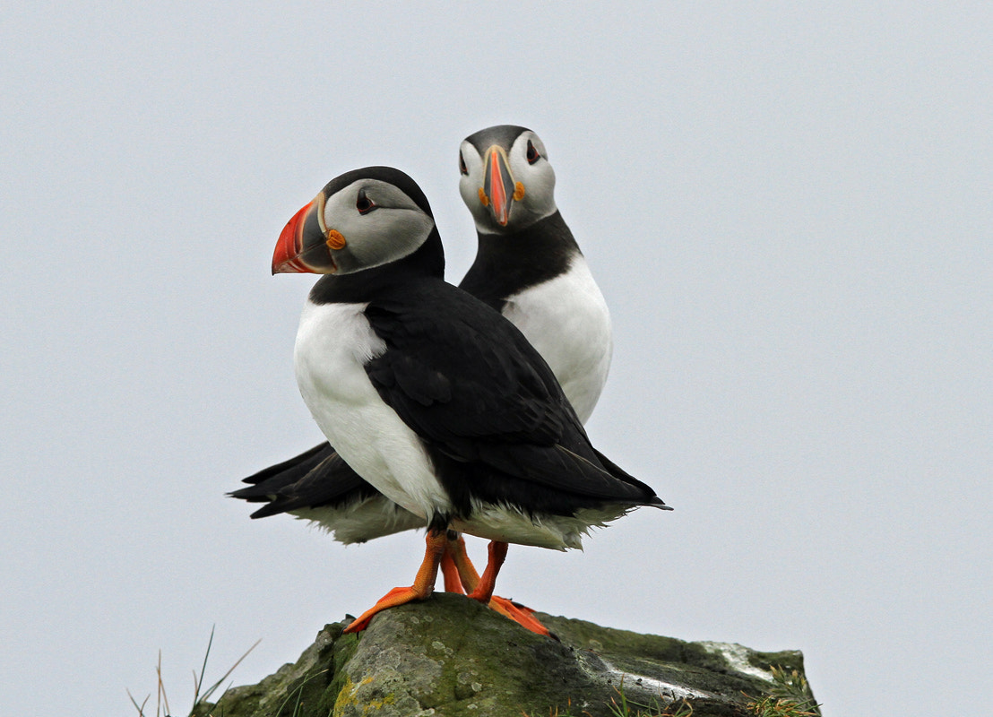 Photograph Puffins by Svend Erik Nørgaard on 500px