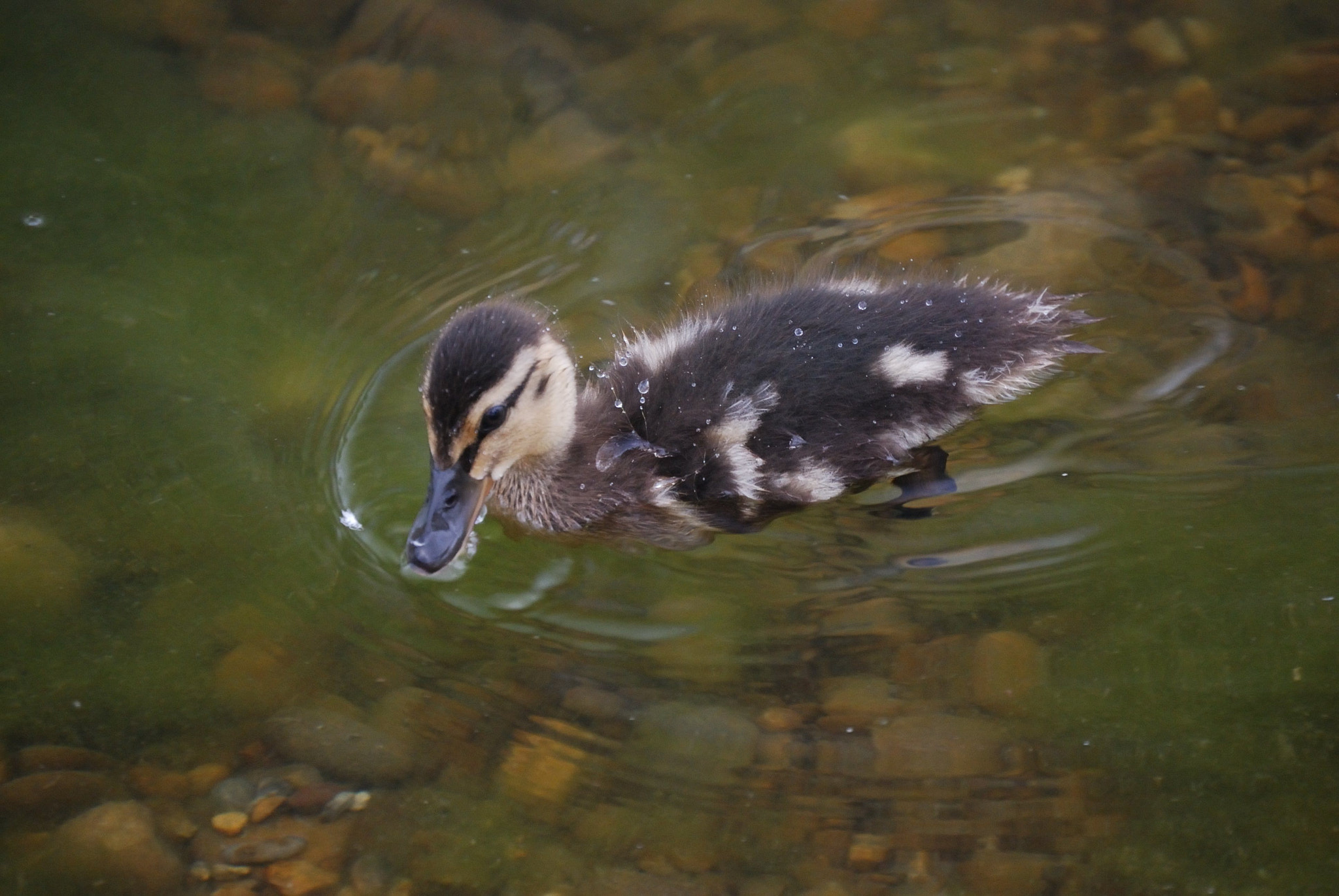 Photograph duck by Ismael Embid on 500px