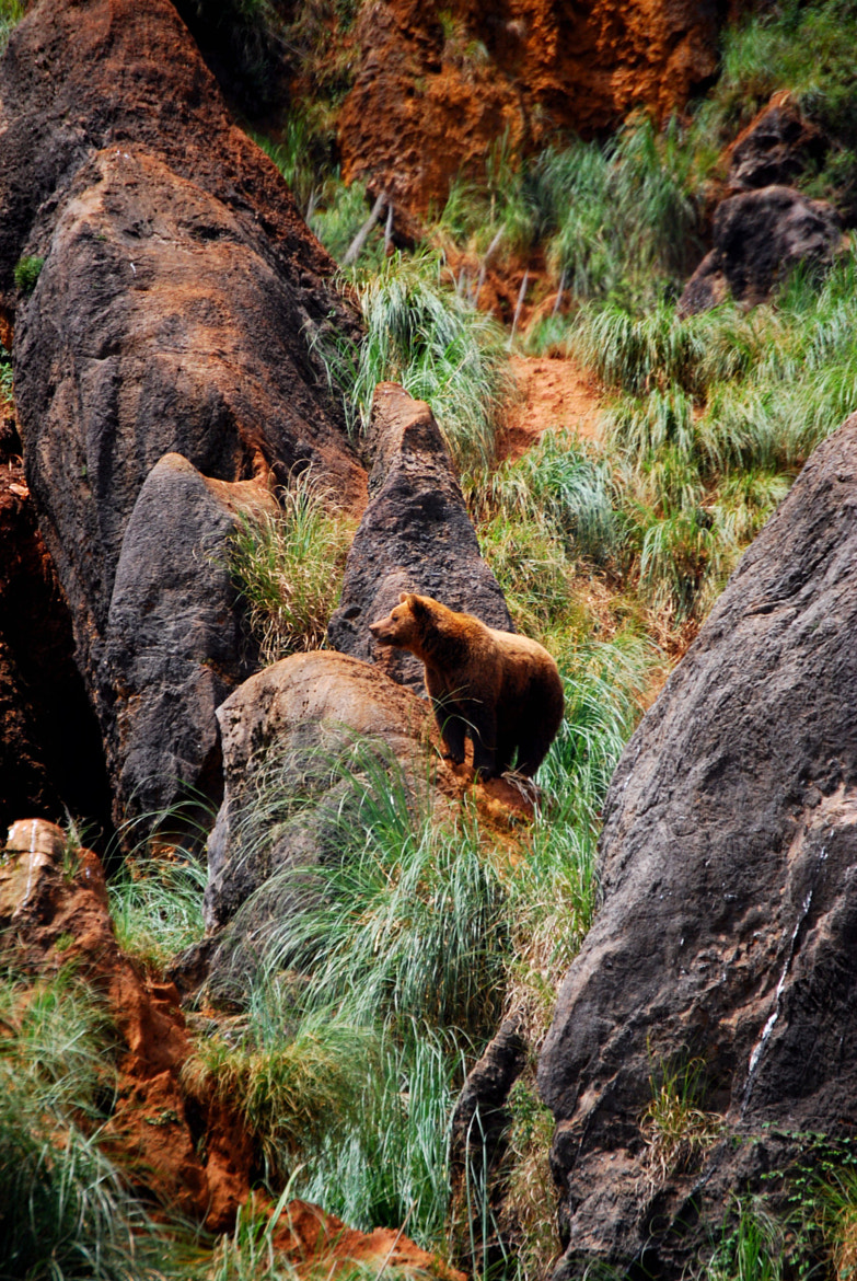 Photograph bear cantabrico by Ismael Embid on 500px
