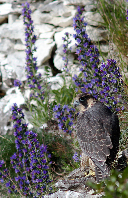 Photograph Peregrine by Svend Erik Nørgaard on 500px