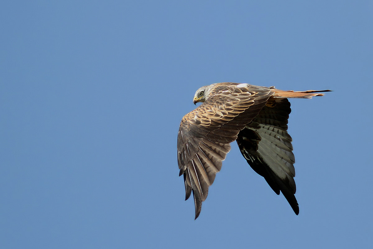 Photograph Red Kite by Svend Erik Nørgaard on 500px