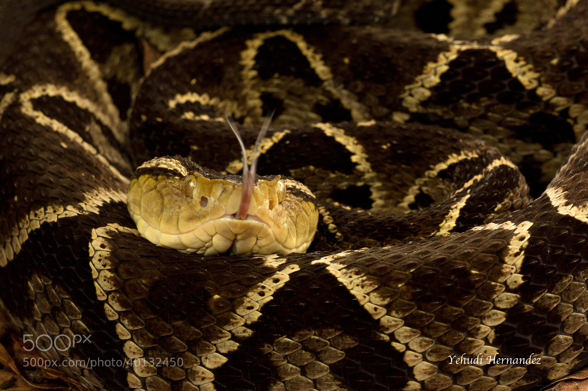 Photograph Fer de lance (Bothrops asper) by Yehudi  Hernandez on 500px