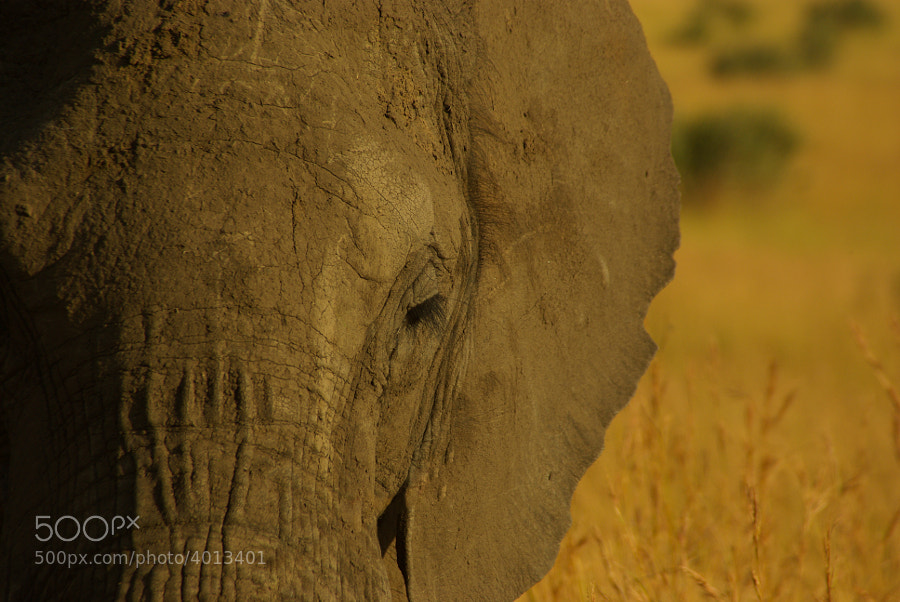 African Elephant on the Masai Mara, Kenya, 2009